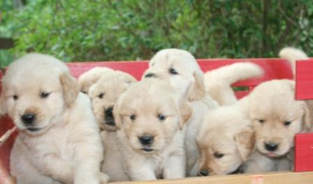 Windjammer Golden Retrievers Atlanta Ga Golden Retriever Puppies