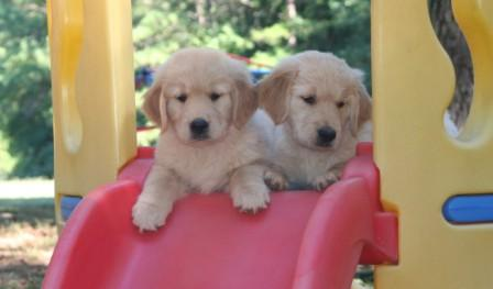 Golden Retriever Puppies For Sale In Atlanta Ga